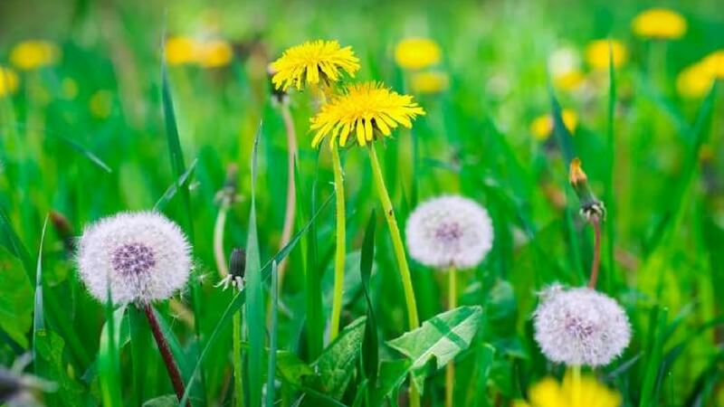 Field Filled With Dandelions