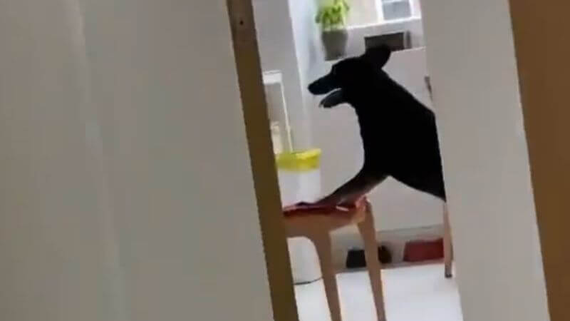 Dog Caught Stealing Food From The Kitchen