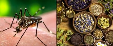 Herbal medicine for dengue