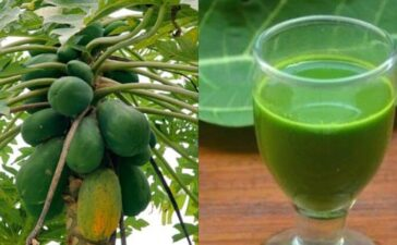 Papaya Leaves Extract Platelets Count