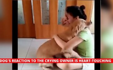 Golden retriever comforts crying owner
