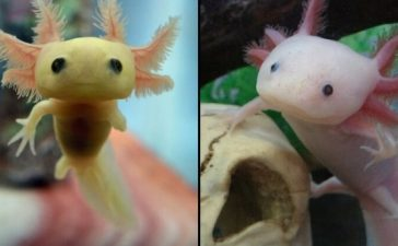 axolotls endangered species