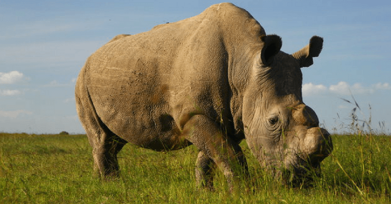 Sudan - Last Male Northern White Rhino